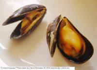 Mussels_david_monniaux_c_2004